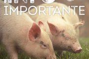 Epidémie porcine ASF